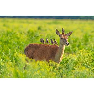Greetings Card : Deer and starlings
