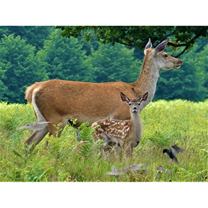 Greetings Card : Deer with young fallow deer