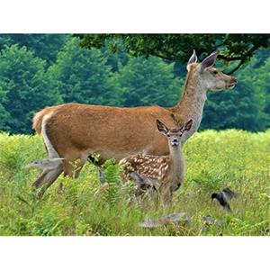 Greetings Card : Deer with young fallow deer