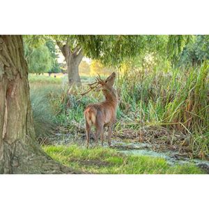 Greetings Card : Red Deer browsing