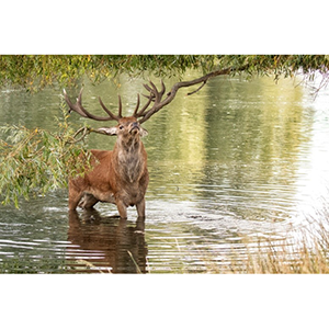 Greetings Card : Stag in water